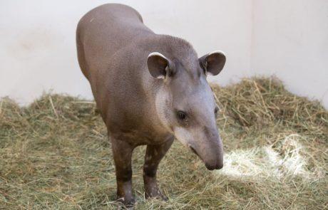 Tapir im Zoo Schmiding